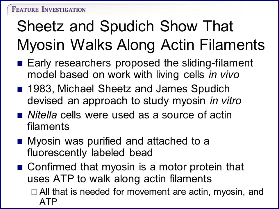 Sheetz and Spudich Show That Myosin Walks Along Actin Filaments