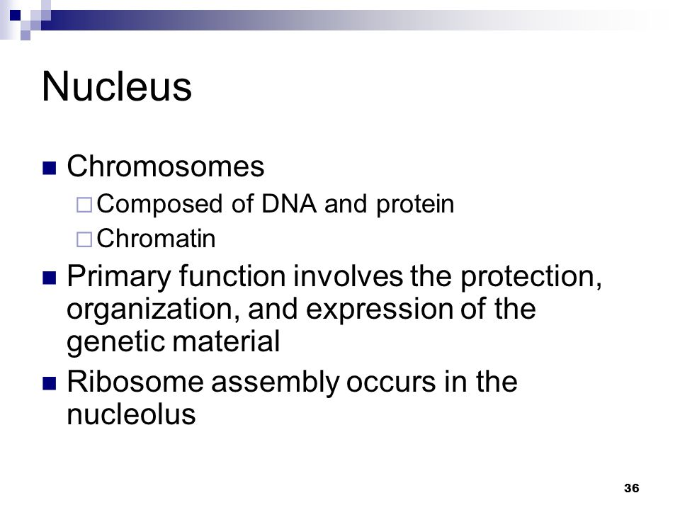 Nucleus Chromosomes. Composed of DNA and protein. Chromatin.