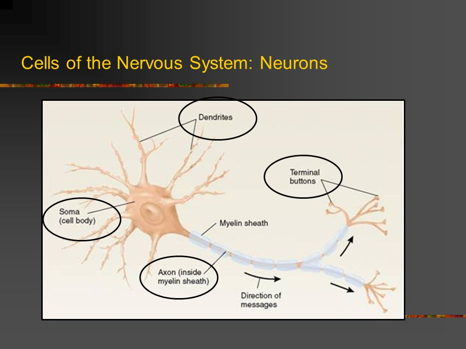 nervous system and terminal buttons The biological bases of behavior   – terminal buttons – secrete neurotransmitters  the peripheral nervous system is made up of the somatic nervous.