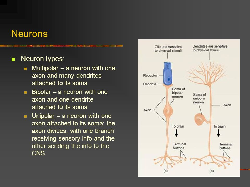 Function of Nucleolus  Softschoolscom