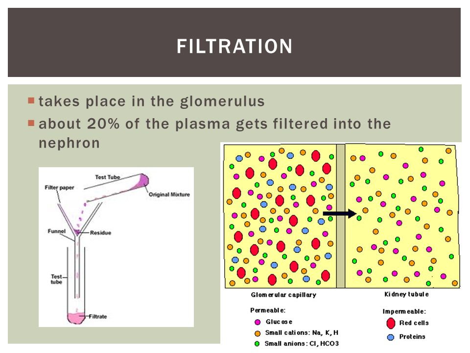 guyton renal tubular filtration essay In the absence of other renal processes (including tubular reabsorption and secretion), more glomerular filtration leads to a larger urine volume you correctly answered: a true experiment.