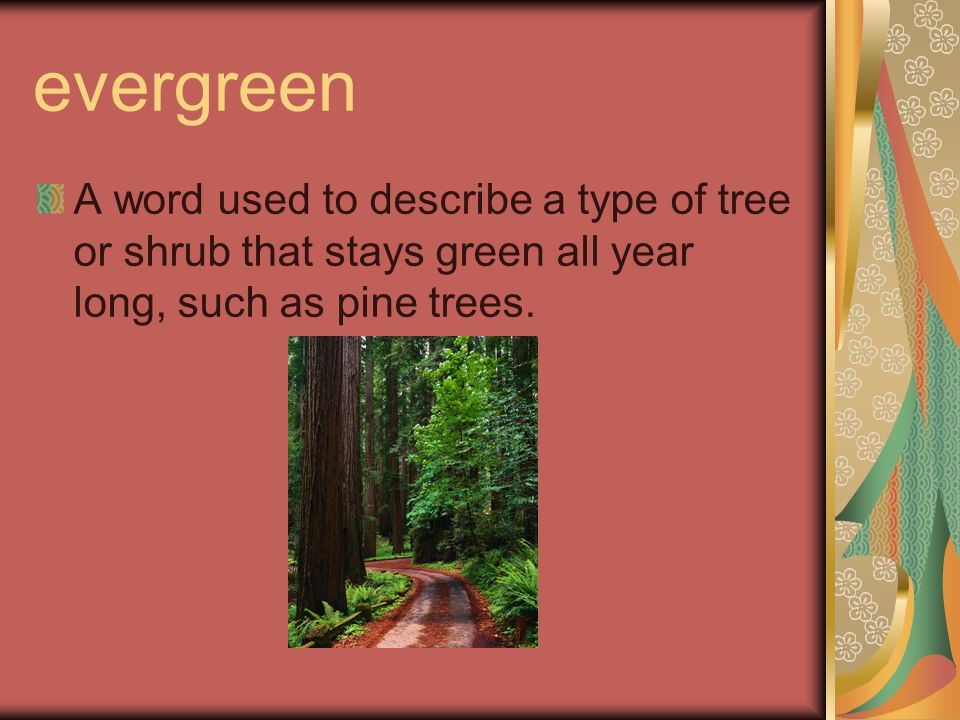 evergreen A word used to describe a type of tree or shrub that stays green all year long, such as pine trees.