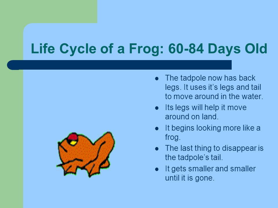Life Cycle of a Frog: 60-84 Days Old