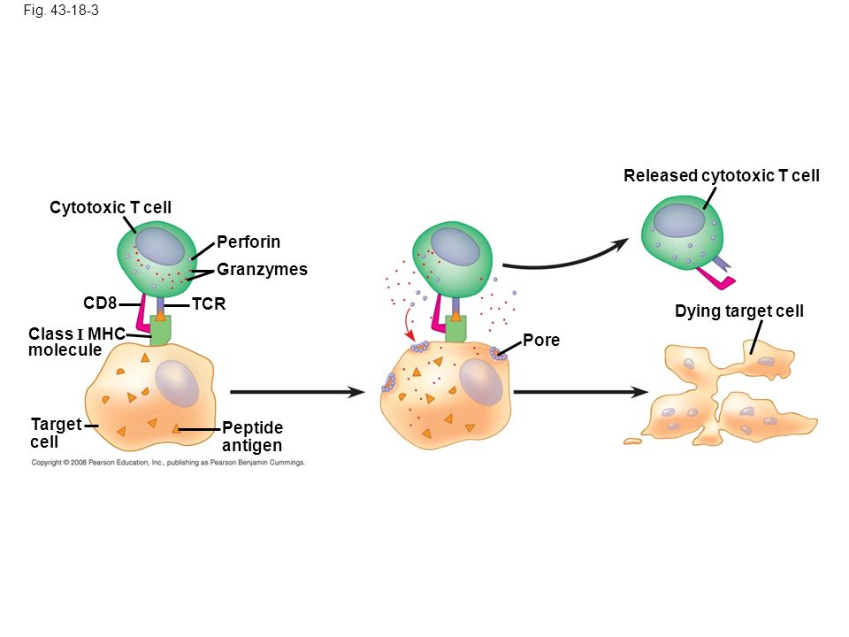 The IMMUNE SYSTEM AP Bio Chapter ppt video online download
