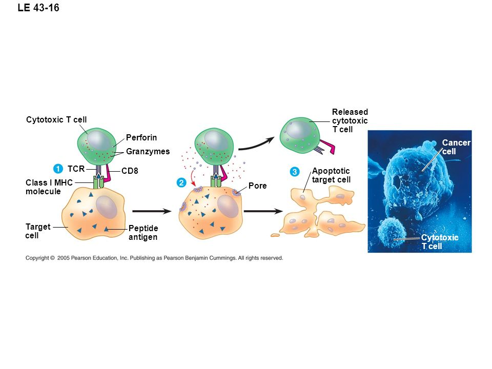 Chapter 43 The Immune System. - ppt video online download
