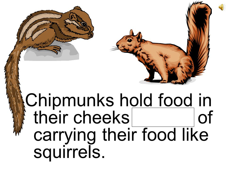 Chipmunks hold food in their cheeks instead of carrying their food like squirrels.