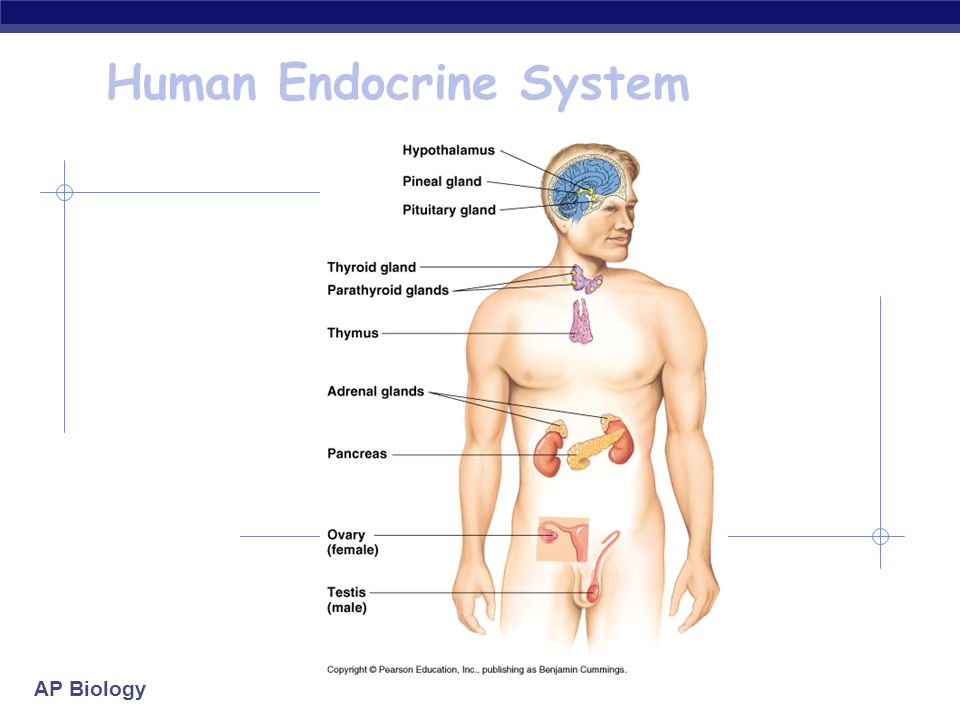 the gallery for gt organs of the endocrine system