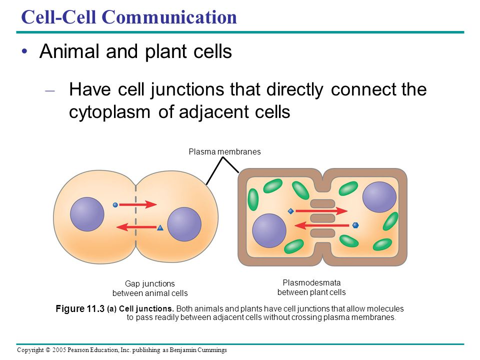 cell to cell communication Mechanisms enabling one cell to influence the behavior of another almost certainly existed in the world of unicellular organisms long before multicellular organisms appeared on earth evidence comes from studies of present-day unicellular eucaryotes such as yeasts although these cells normally lead independent lives, they can communicate and.