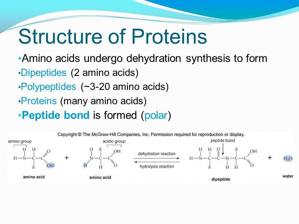 Structure of Proteins Amino acids undergo dehydration synthesis to form. Dipeptides (2 amino acids)