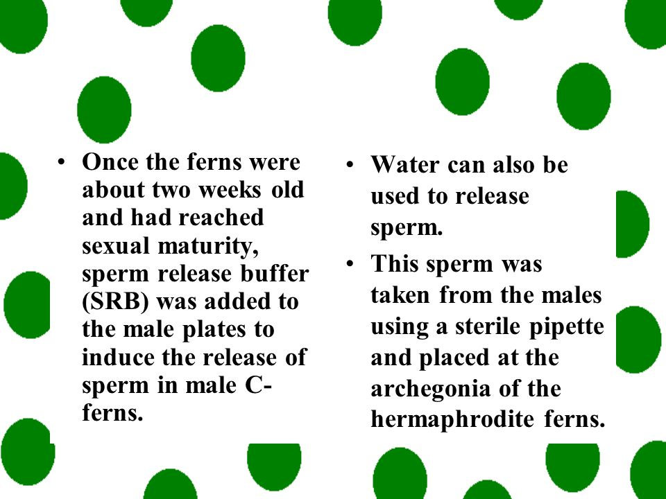 Once the ferns were about two weeks old and had reached sexual maturity, sperm release buffer (SRB) was added to the male plates to induce the release of sperm in male C-ferns.