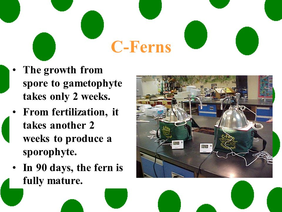 C-Ferns The growth from spore to gametophyte takes only 2 weeks.