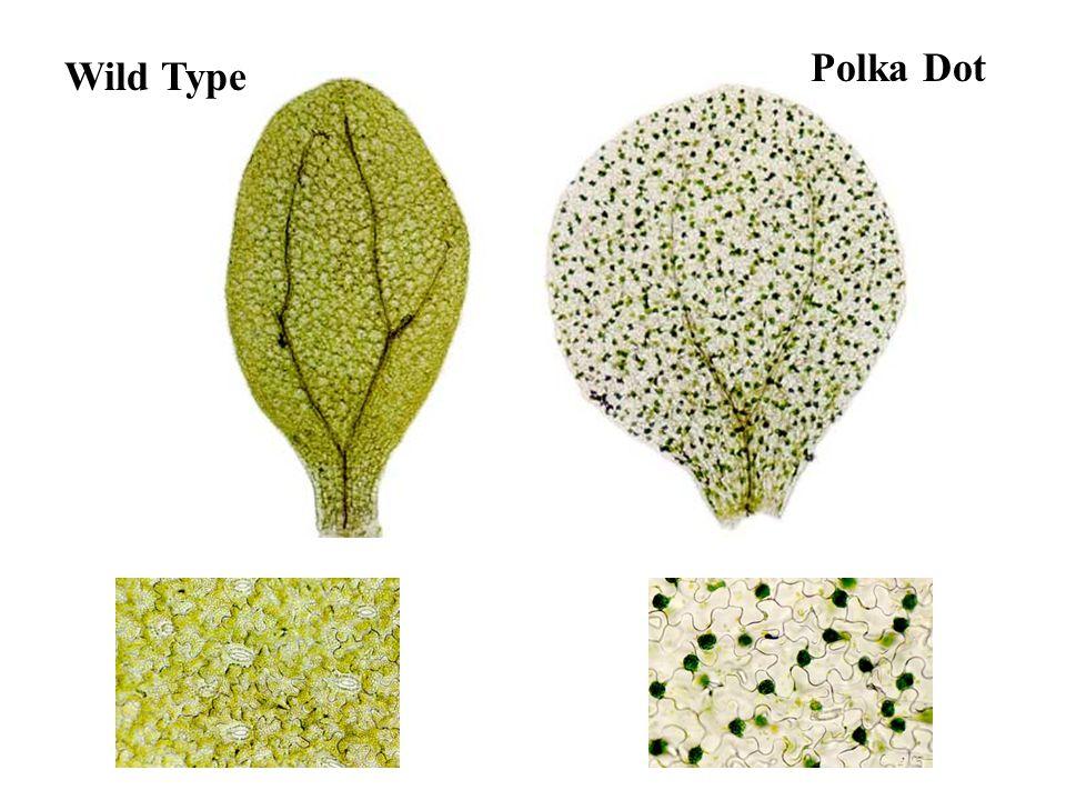 Polka Dot Wild Type