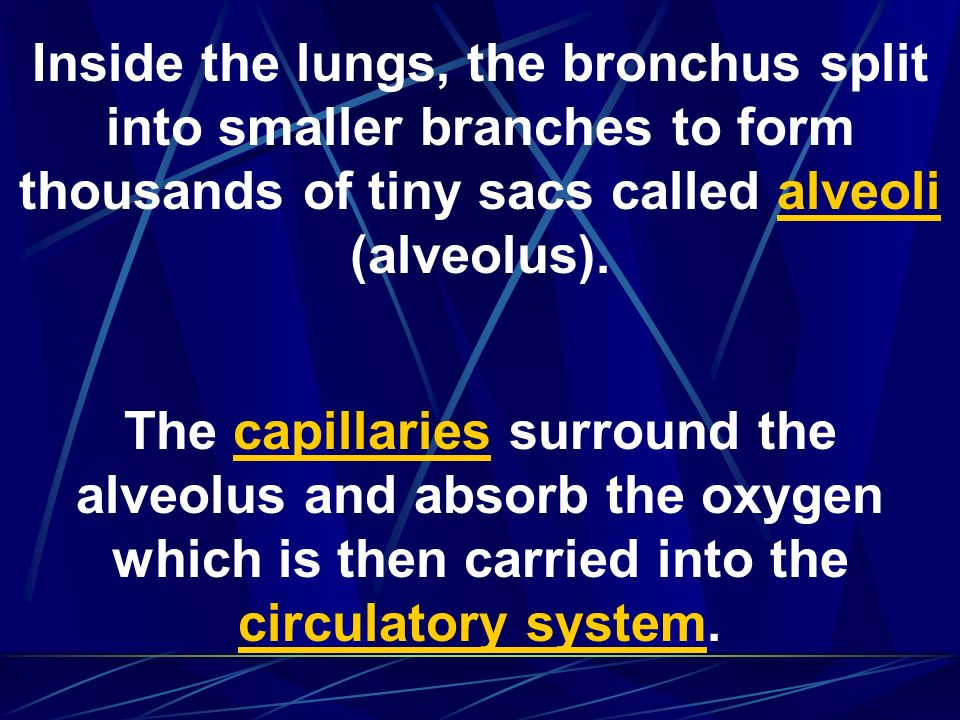 Inside the lungs, the bronchus split into smaller branches to form thousands of tiny sacs called alveoli (alveolus).
