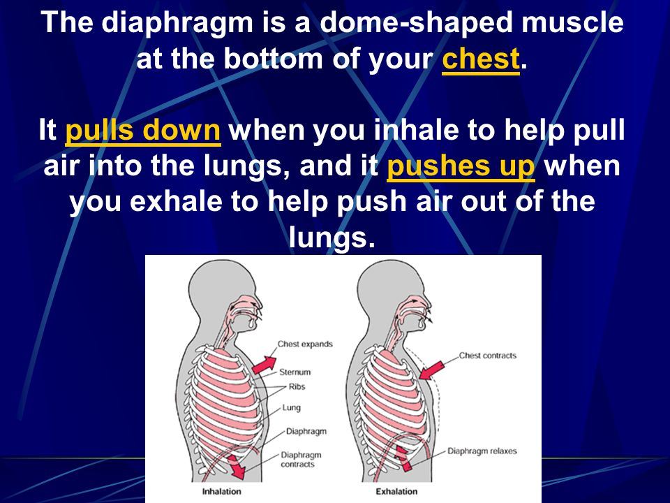The diaphragm is a dome-shaped muscle at the bottom of your chest.