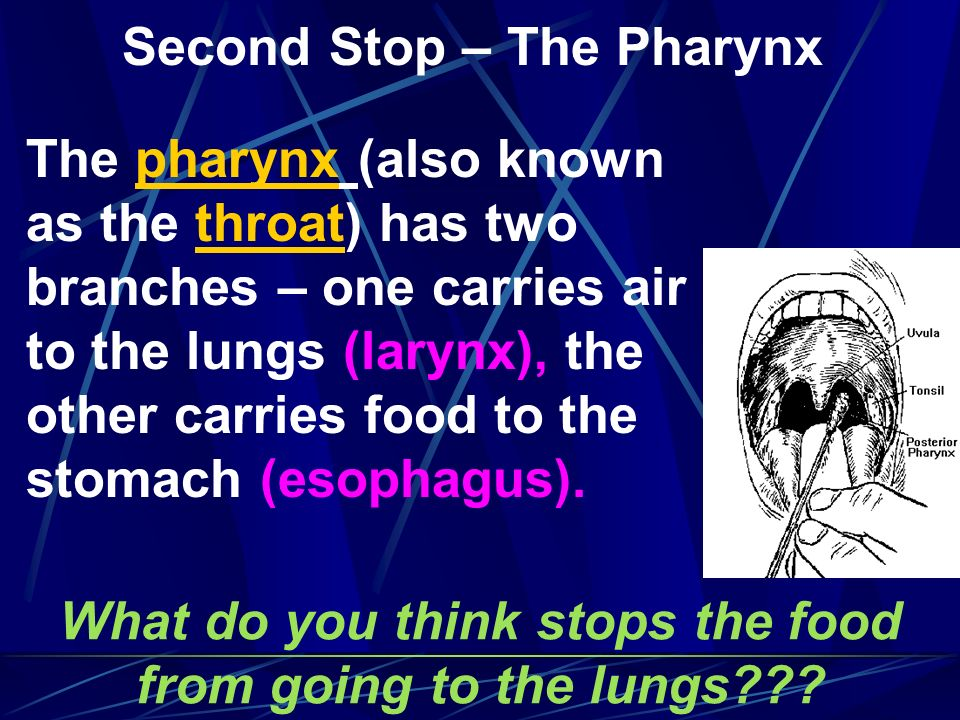 Second Stop – The Pharynx