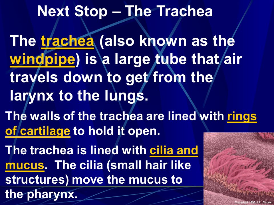 Next Stop – The Trachea The trachea (also known as the windpipe) is a large tube that air travels down to get from the larynx to the lungs.