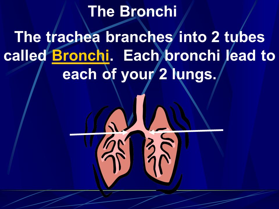 The Bronchi The trachea branches into 2 tubes called Bronchi.