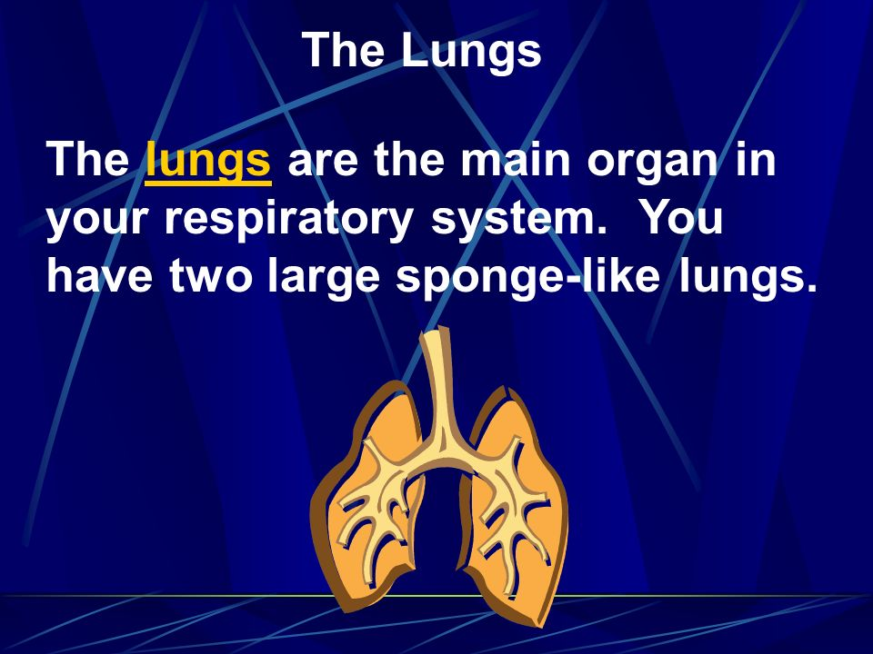 The Lungs The lungs are the main organ in your respiratory system.