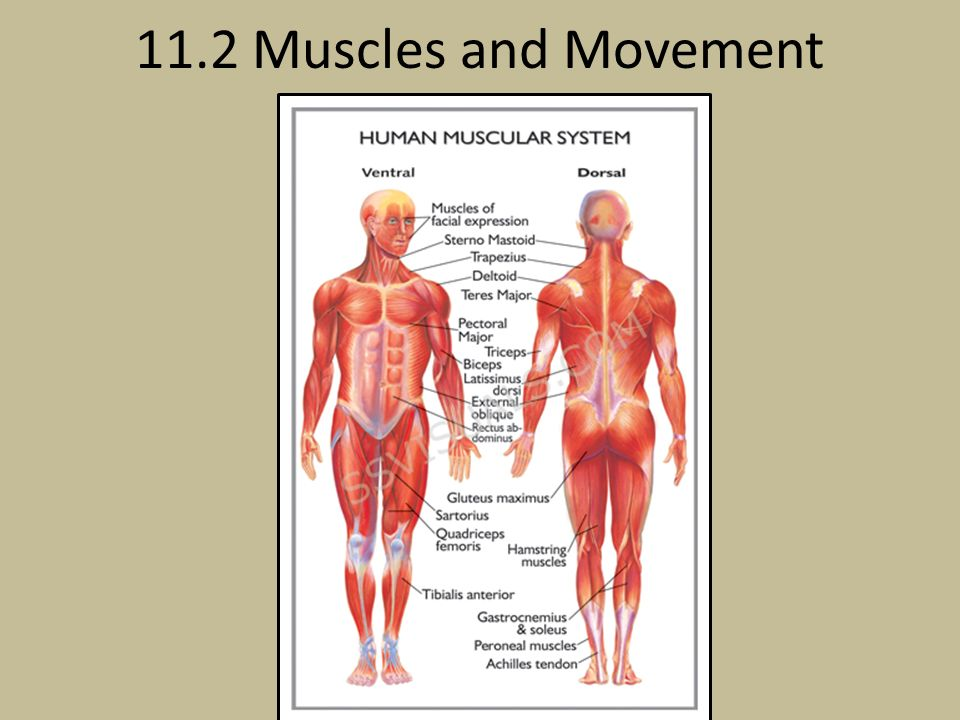 112 Muscles And Movement Ppt Video Online Download