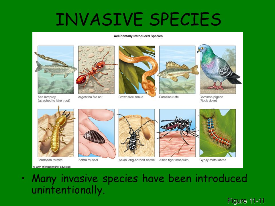 INVASIVE SPECIES Many invasive species have been introduced unintentionally. Figure 11-11