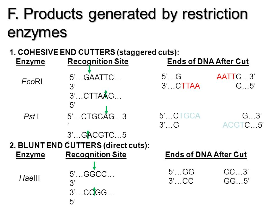 F. Products generated by restriction enzymes