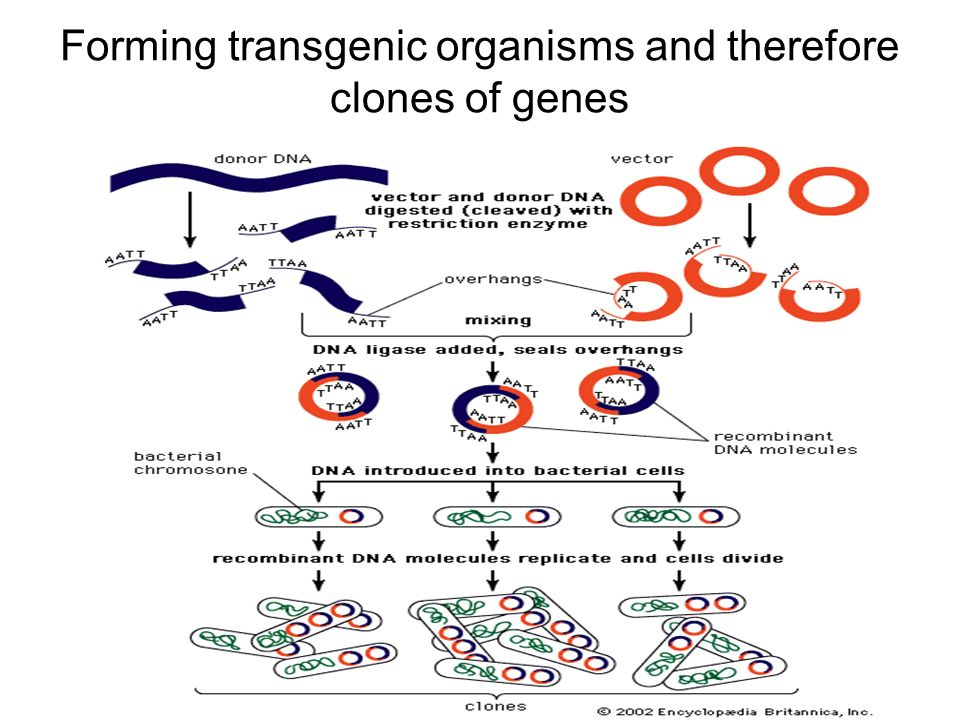 Forming transgenic organisms and therefore clones of genes