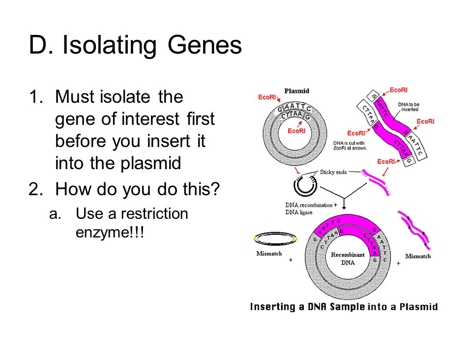 D. Isolating Genes Must isolate the gene of interest first before you insert it into the plasmid. How do you do this