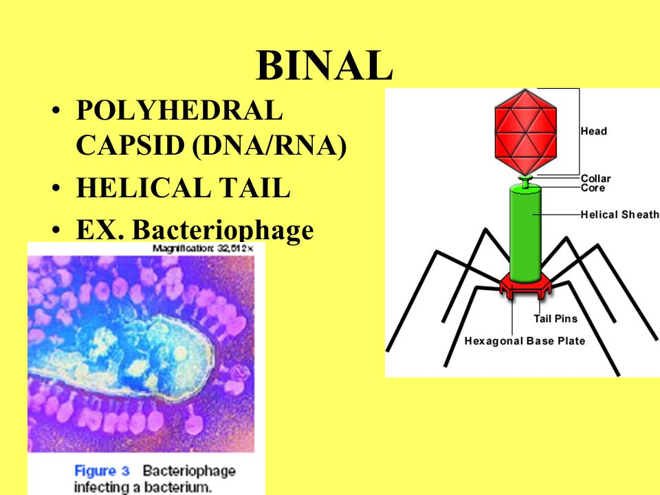 BINAL POLYHEDRAL CAPSID (DNA/RNA) HELICAL TAIL EX. Bacteriophage