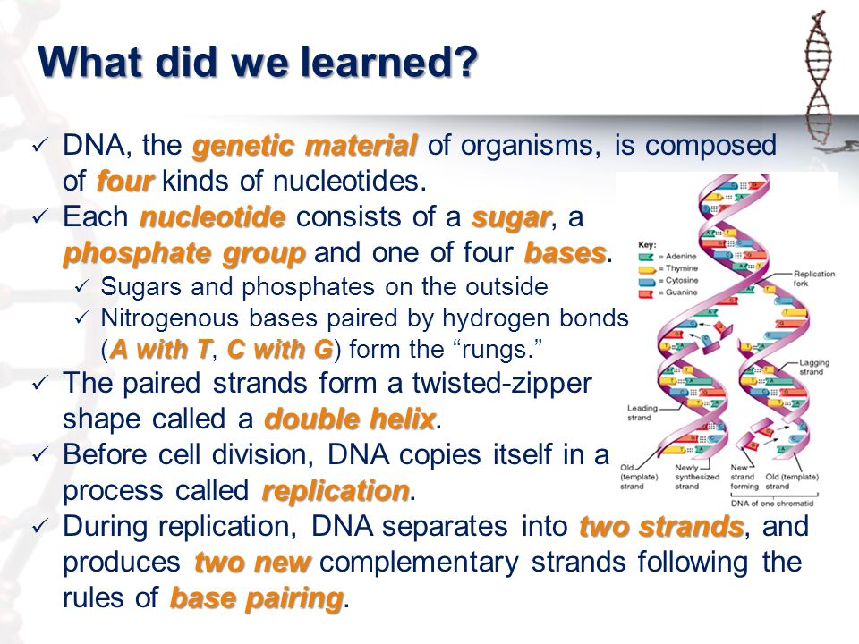 Topic 24 – DNA Replication - ppt video online download