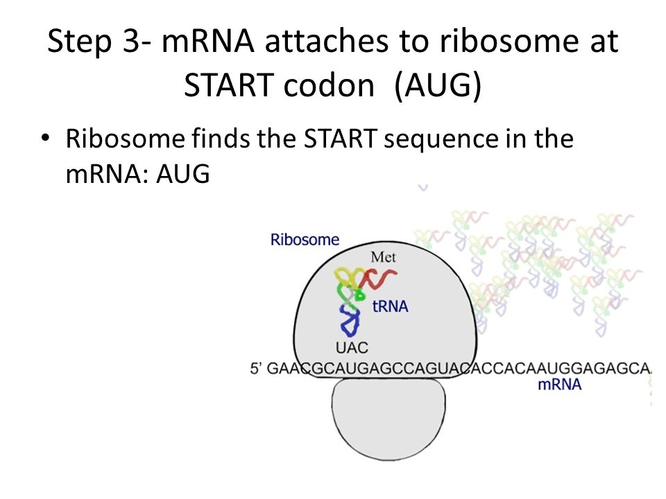 Step 3- mRNA attaches to ribosome at START codon (AUG)