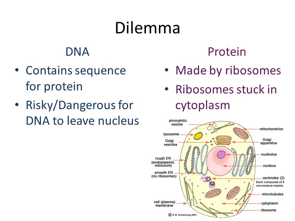 Dilemma DNA Contains sequence for protein