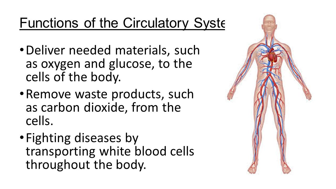 Functions Of The Circulatory System Ppt Video Online Download