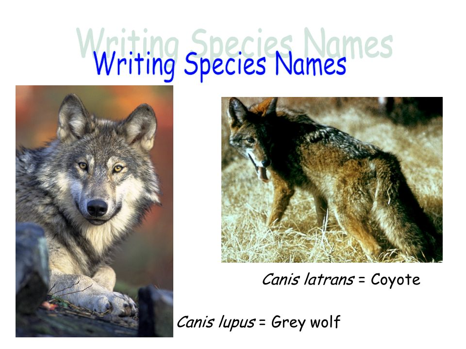 Writing Species Names Canis latrans = Coyote Canis lupus = Grey wolf