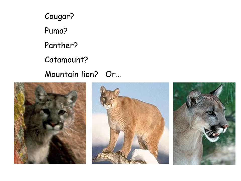Cougar Puma Panther Catamount Mountain lion Or…