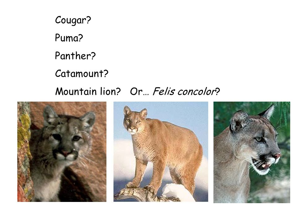Cougar Puma Panther Catamount Mountain lion Or… Felis concolor