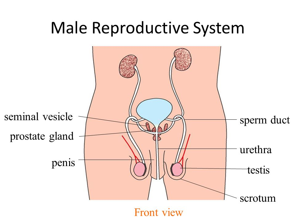Male Reproductive System Diagram Front View Wiring Library