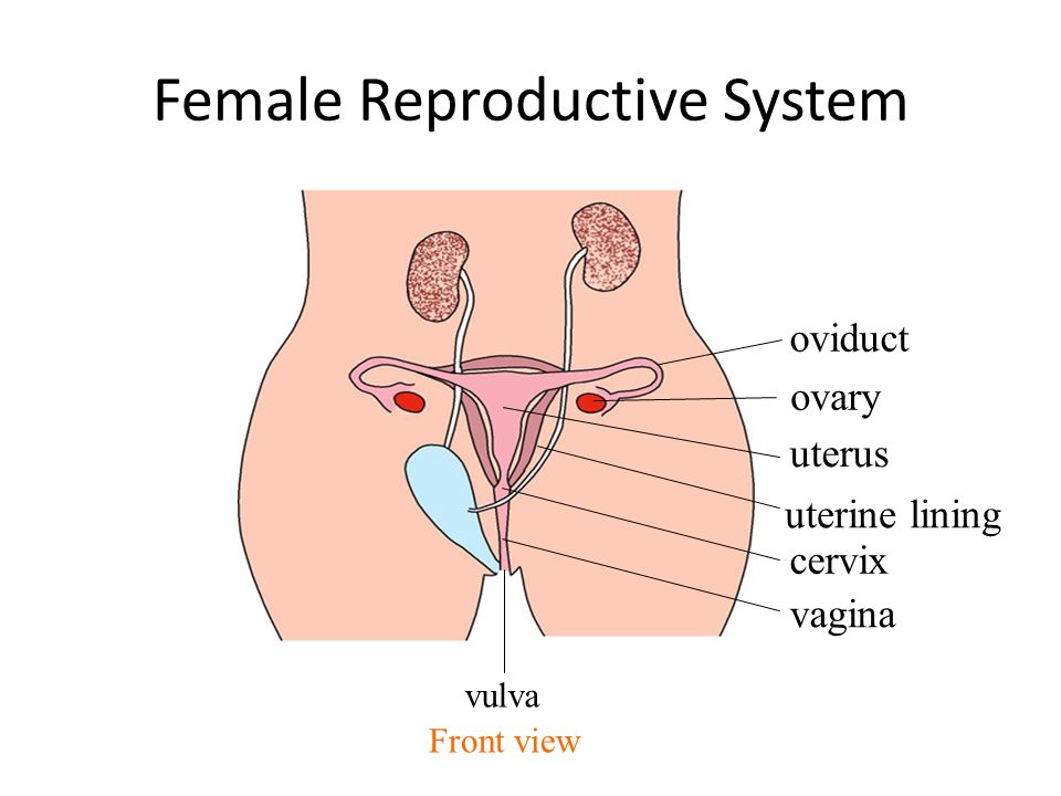 Reproduction in humans ppt video online download female reproductive system ccuart Images