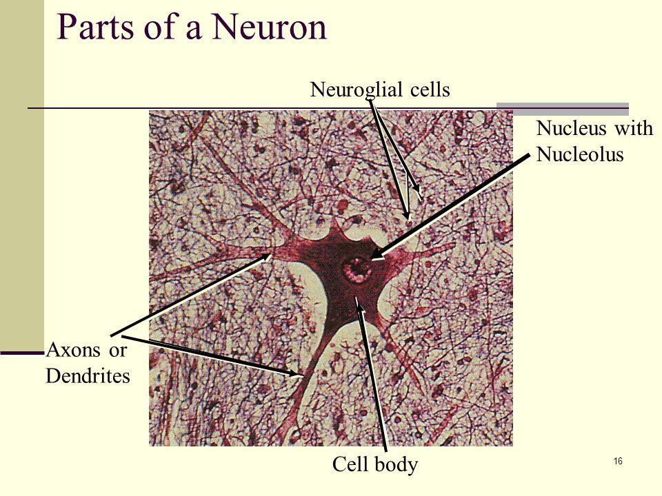 Nervous Tissue Lecture Outline Ppt Download