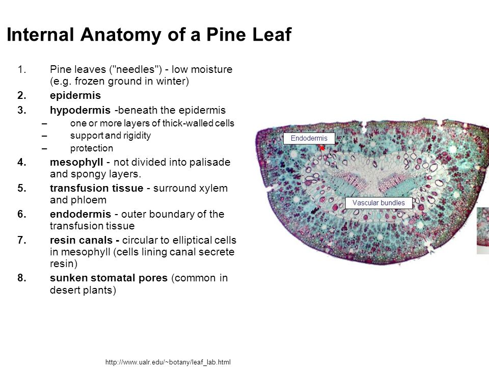 Internal anatomy of a leaf 668858 - follow4more.info