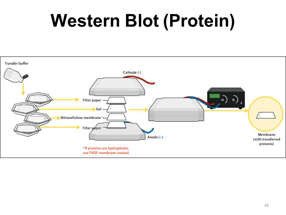 western blot protocol thesis Western blots may be stripped and reprobed, albeit with some loss of sensitivity stripping generally involves the use of reducing agents such as 2-mercaptoethanol to cleave the disulfide bands which hold the antibody probes together.