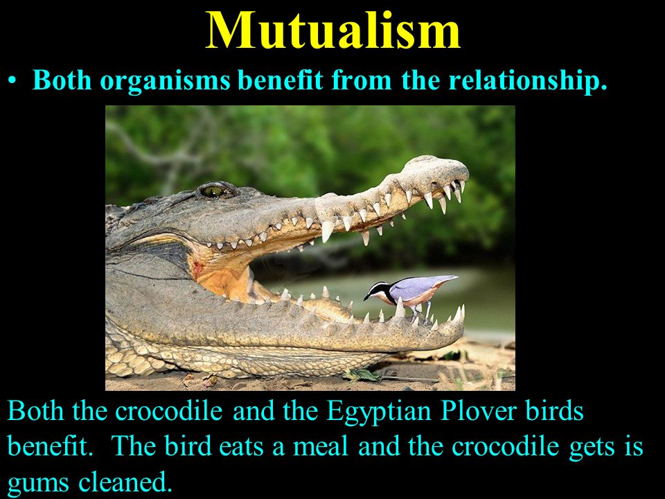 crocodile and egyptian plover symbiotic relationship examples