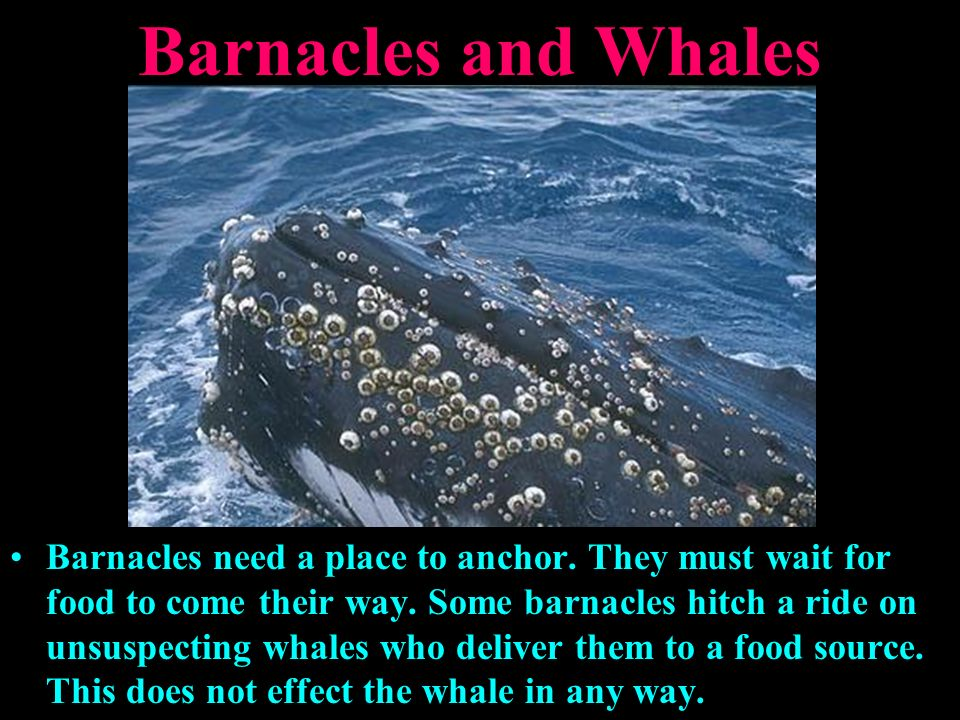 commensalism relationship between barnacles and whales for kids