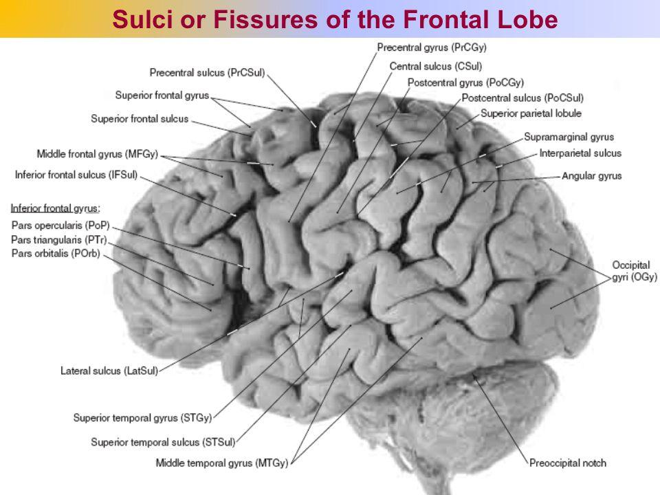 The Cerebrum The Cerebral Hemispheres Ppt Video Online Download