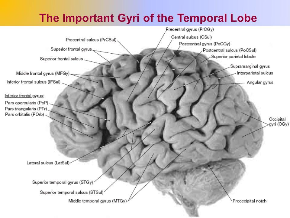 the cerebrum (the cerebral hemispheres) - ppt video online download, Human Body