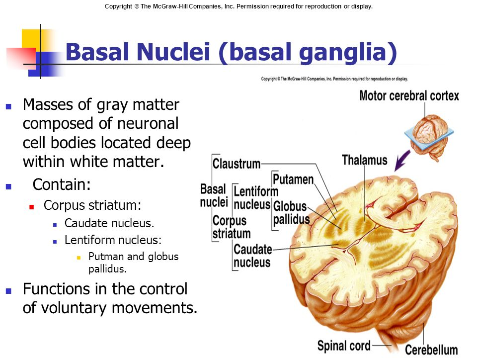Subcortical structures the cerebellum basal ganglia and