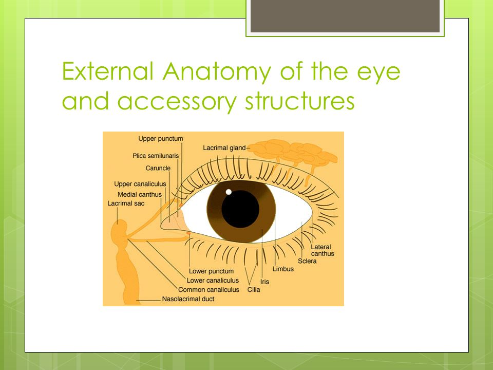 The Eye And Vision 70 Of All Sensory Receptors Are In The Eyes