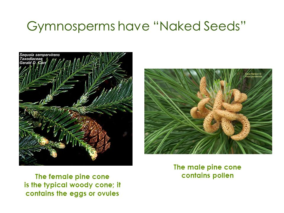 Gymnosperms have Naked Seeds