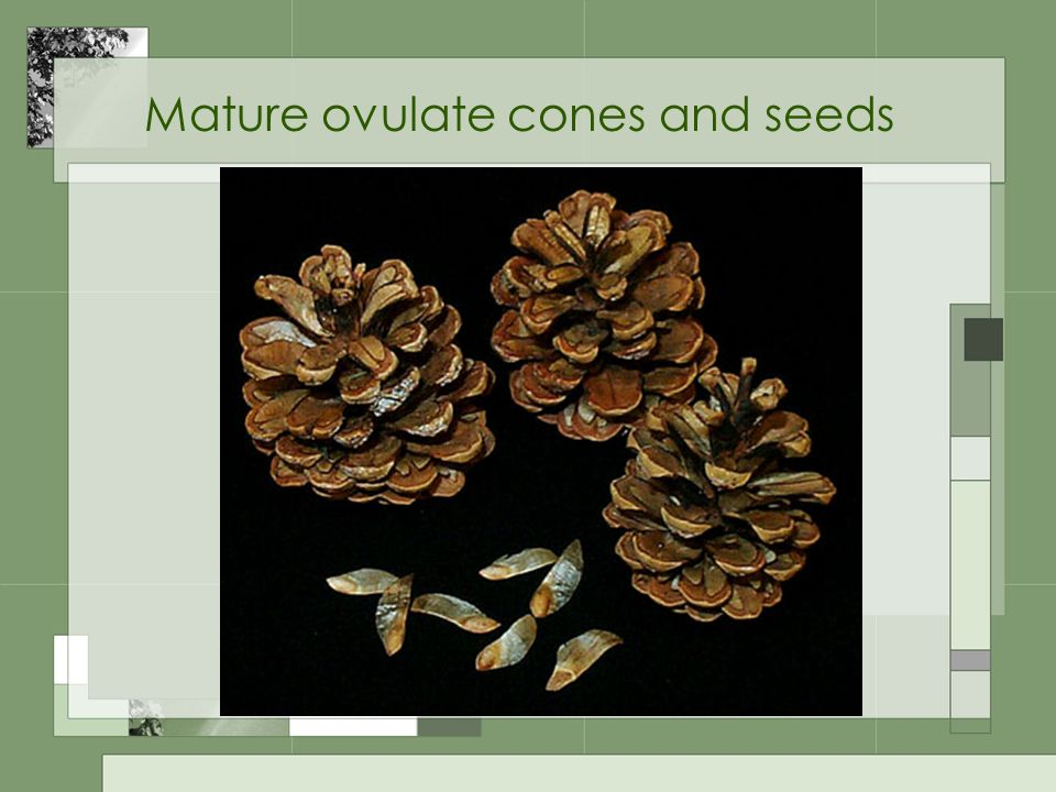 Mature ovulate cones and seeds