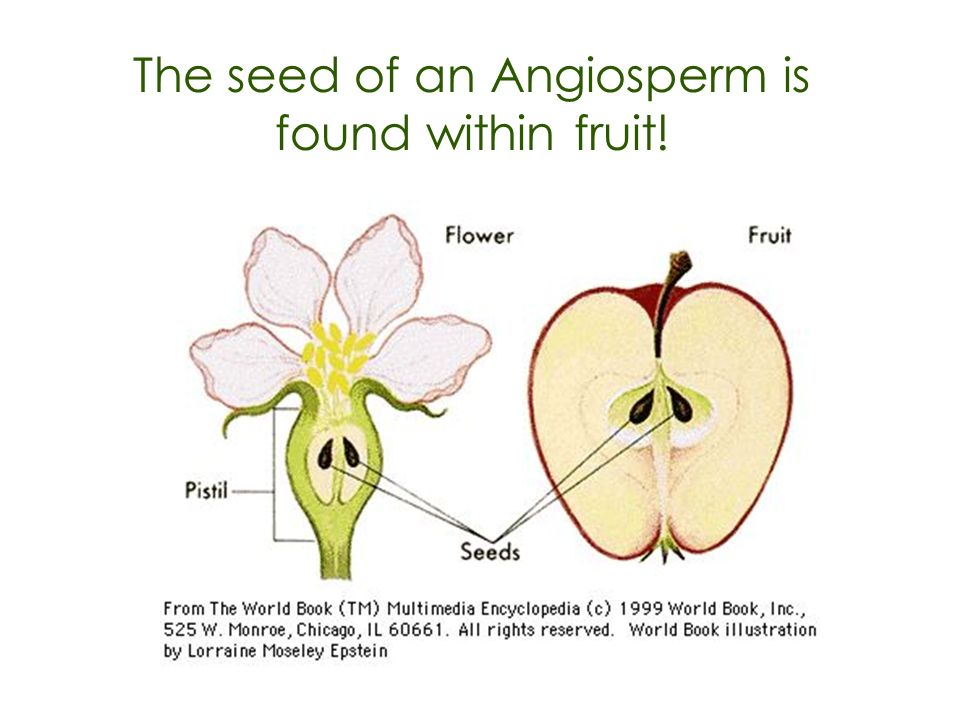 The seed of an Angiosperm is found within fruit!