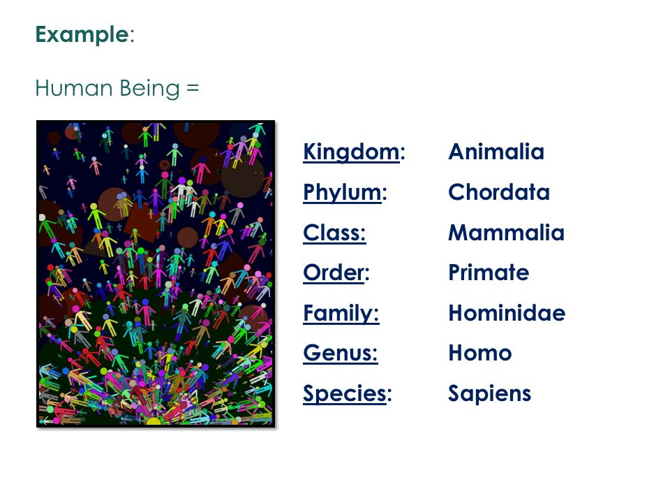 Example: Human Being = Kingdom: Phylum: Class: Order: Family: Genus: Species: Animalia. Chordata.